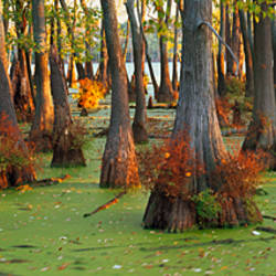 Bald cypress trees (Taxodium disitchum) in a forest, Illinois, USA