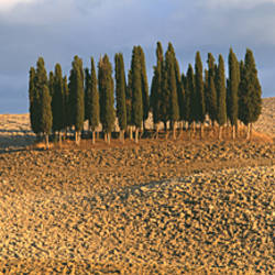 Cypress trees in a field, Torrenieri, Tuscany, Italy