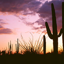 Silhouette of saguaro cactus at sunset, Organ Pipe Cactus National Monument, Arizona, USA