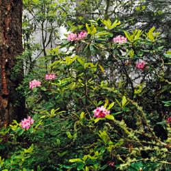 USA, California, Redwoods and Rhododendrons at Prairie Creek Redwood State Park