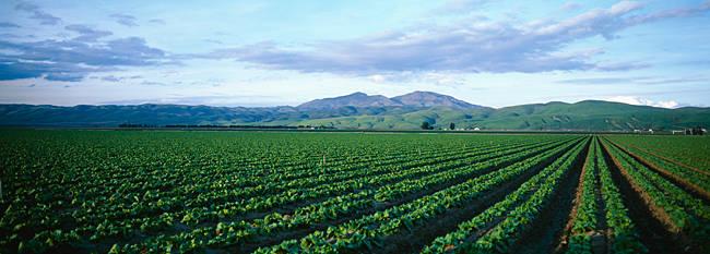 Crops in a farm, California, USA