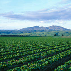 Crops in a farm, California, USA
