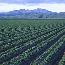 Crops in a field, California, USA
