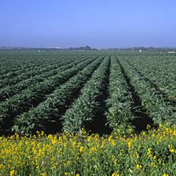 Crops in a field, California, USA