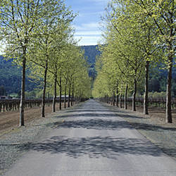 Trees on both sides of a road, Napa Valley, California, USA