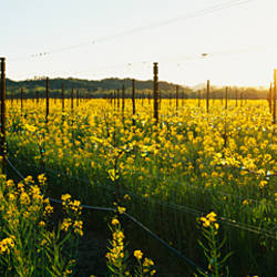 Crops in a field, Napa Valley, California, USA