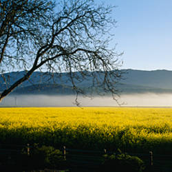 Fog over crops in a field, Napa Valley, California, USA