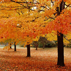 USA, New York State, Erie County, Chestnut Ridge Country Park, Leaves of maple tree on the ground