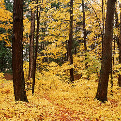 USA, New York State, Erie County, Emery Park, Forest covered with dry autumn leaves