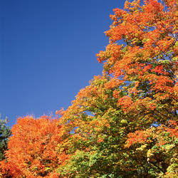 USA, New York, Letchworth State Park, Low angle view of fall trees