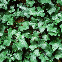 Close-up of ivy leaves