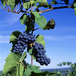 USA, New York, Finger Lakes, Lake Keuka, Hammondsport, Close-up of bunch of grapes on a vine