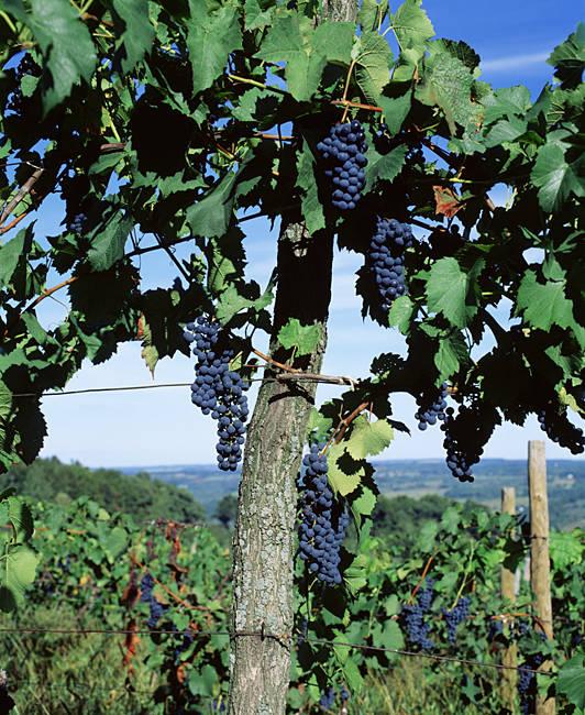 USA, New York, Finger Lakes, Lake Keuka, Hammondsport, Bunch of grapes on a vine