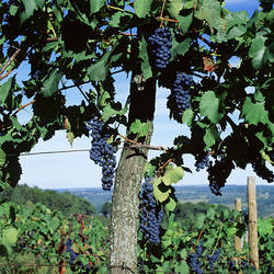 USA, New York, Finger Lakes, Lake Keuka, Hammondsport, Bunch of grapes on a vine