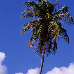 Puerto Rico, Vieques Island, Sun Bay Beach, Low angle view of a palm tree
