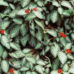 Dominica, Trafalgar, Episcia at D'Auchamps Gardens
