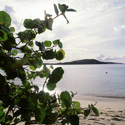 US Virgin Islands, St. John, Gibney's Beach, Seagrape tree on the beach