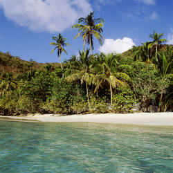 US Virgin Islands, St. John, Palm tree on the Gibney's Beach
