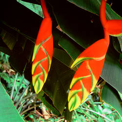 Dominica, Papillote Wilderness Retreat, Close-up of Heliconia