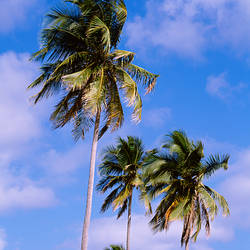 Puerto Rico, Vieques Island, Sun Bay Beach, Low angle view of palm trees on a beach