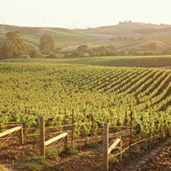 Panoramic view of vineyards, Carneros District, Napa Valley, California, USA
