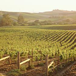 Panoramic view of vineyards, Carneros District, Napa Valley, California, USA
