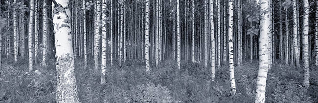 Birch Trees In A Forest, Finland