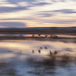 Flock Of Sandhill Cranes Flying Over Water, Bosque Del Apache National Wildlife Reserve, New Mexico, USA
