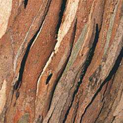 Close-up of a tree bark, Eucalyptus tree, San Rafael, California, USA