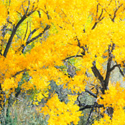 Cottonwood tree in a forest, El Rito, New Mexico, USA
