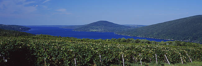 Vineyards Near A Lake, Canandaigua Lake, Finger Lakes, New York State, USA