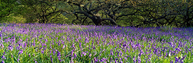 Lavender Flowers In A Field, England, United Kingdom