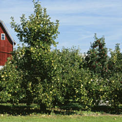 Red Barn Behind Apple Trees, Grand Rapids, Michigan, USA
