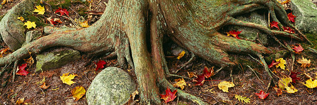 Close-Up Of Tree Roots, Sleeping Bear Dunes National Lakeshore, Michigan, USA