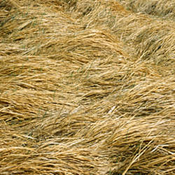 Close-up of hay growing in a field