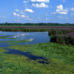 Tall grass in a lake, Finger Lakes, Montezuma National Wildlife Refuge, New York State, USA