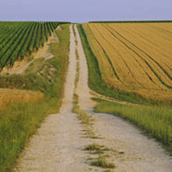 Dirt road passing through a wheat field, Chablis, France