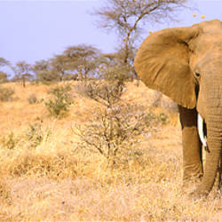 Elephant, Somburu, Kenya, Africa