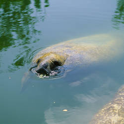 Manatee (Trichechus manatus) swimming underwater, Florida Keys, Florida, USA