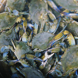 Close-up of crabs (Cancer Pagurus) steaming in a pot, Maryland, USA