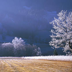 Trees With Frost, Franstanz, Tyrol, Austria
