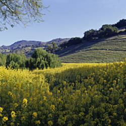Mustard Flowers In A Field, Napa Valley, California, USA
