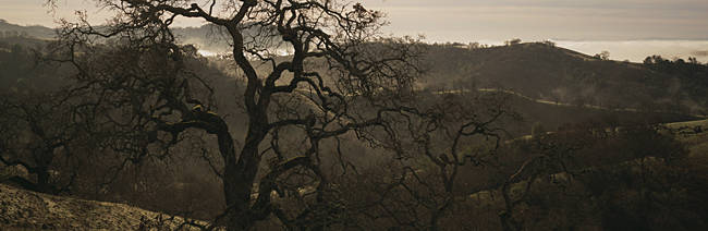 USA, California, Henry W Coe State Park, Oak tree on a hill