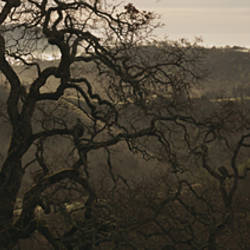 USA, California, Henry W Coe State Park, Oak tree on a hill