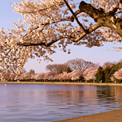 Cherry blossom tree along a lake, Potomac Park, Washington DC, USA