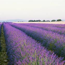 Lavender Field, Plateau De Valensole, France