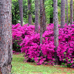 Azaleas Crawfordville, Florida, USA