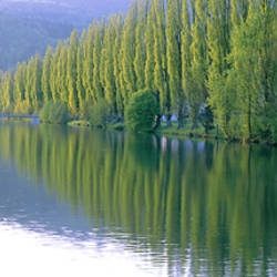 Poplar Trees On River Aare, Near Canton Aargau, Switzerland