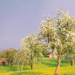 Pear trees in a field (Pyrus communis), Aargau, Switzerland