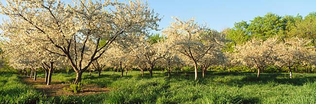 Cherry trees in an orchard, Leelanau Peninsula, Michigan, USA